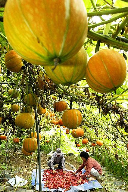 가을의 시작을 알리는 입추를 하루 앞둔 7일 흐린 날씨 속에 붉게 익은 호박 넝쿨 아래서 고추를 다듬는 농촌의 모습이 풍요롭다. 춘천/최원명