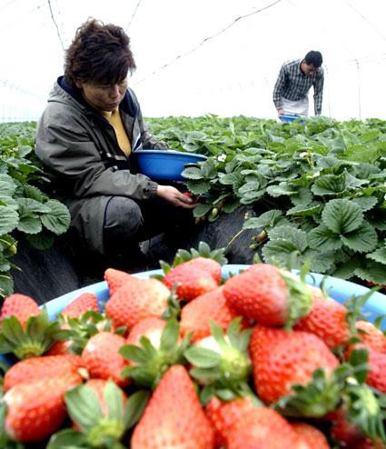 도내 대부분 지역의 낮기온이 쌀쌀한 날씨를 보이고 있는 가운데 27일 강릉시 연곡면 동덕2리 한 비닐하우스에서 딸기가 탐스럽게 익어 수확의 손길이 분주하다. 강릉/서영