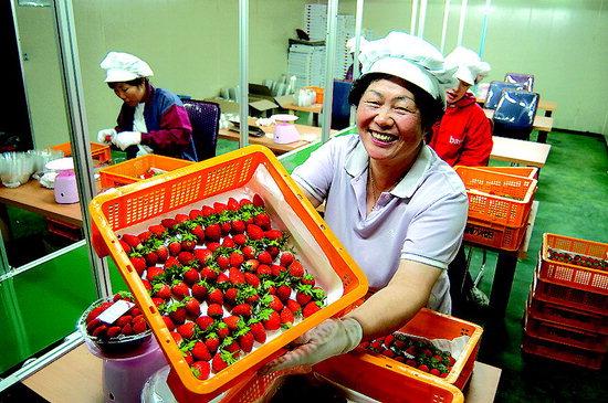 양구군 동면 팔랑리 여름딸기 선별장에서 주민들이 갓 수확한 여름딸기를 선보이며 즐거워 하고 있다.