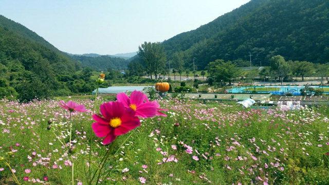 ▲ 26일 삼척 내미로리 미로정원 가는 길목에 가을꽃의 대명사 코스모스 물결을 이루고 있다.