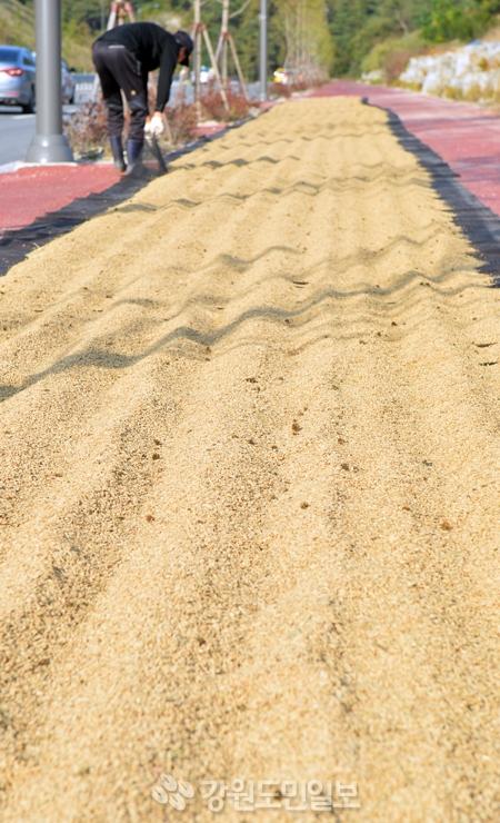 ▲ 올해도 쌀 풍년이 예상되지만 도내 쌀값은 하락해 농민들의 시름이 깊어지는 가운데 18일 춘천 동내면의 한 도로변에서 농민이 벼를 말리고 있다.   정일구