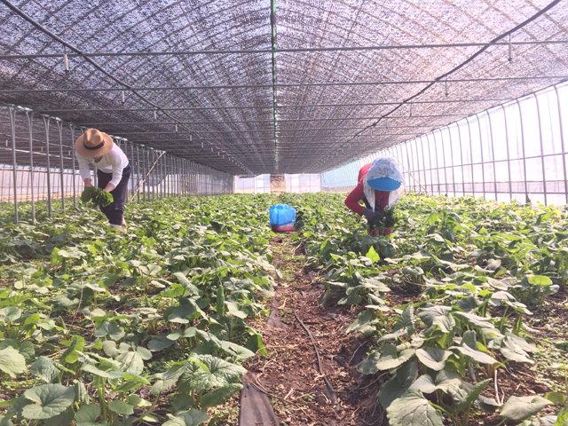 ▲ ▲영임푸드에서 무농약 친환경 방식으로 재배하는 산채 농장