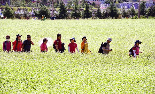 ▲ 매밀꽃밭을 산책하고 있는 관광객들.