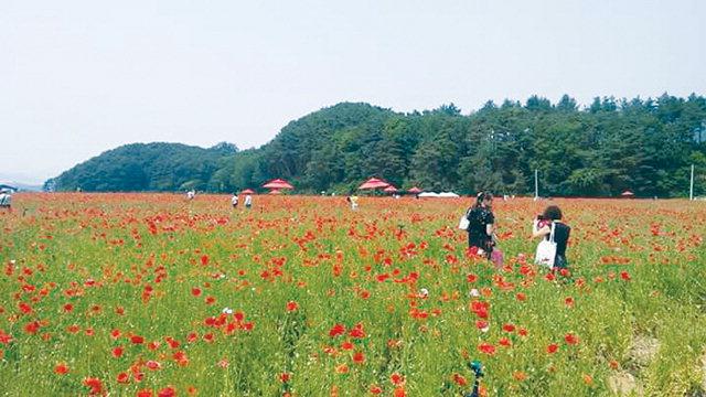 ▲ 제11회 용수골 꽃양귀비축제가 13일 개막한 가운데 관광객들이 만개한 꽃양귀비를 배경삼아 기념촬영을 하고 있다.