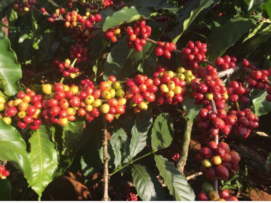 ▲ 커피나무에 달린 커피열매.