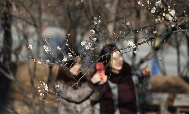 ▲ 최근 동해 지역에 매화가 활짝 피어 이른 봄 소식을 알리고 있다.