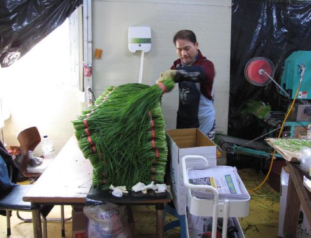 ▲ 홍천부추작목반은 하루 1000단(200g/단)의 홍천부추를 가락동농수산물도매시장으로 출하하고 있다.