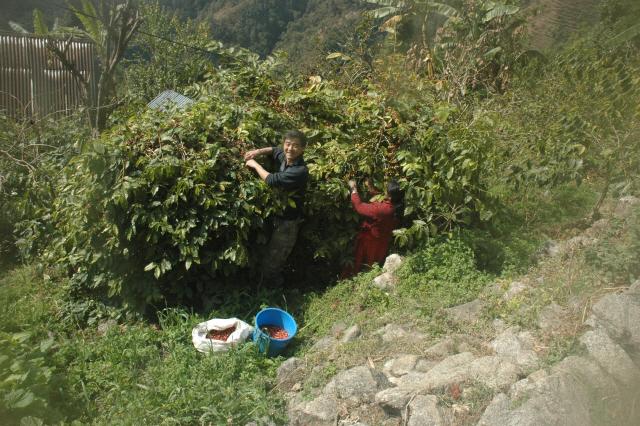 ▲ 강원희 교수는 지난달 '코끼리 똥 커피' 최종 점검을 위해 네팔을 방문,생산과정을 확인했다.
