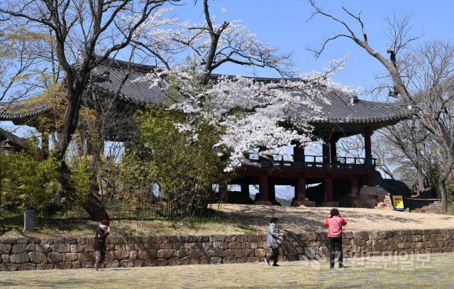 ▲ 2일 삼척 죽서루(竹西樓·보물 제213호) 경내  벚꽃이 만개해 장관을 이루고 있다.