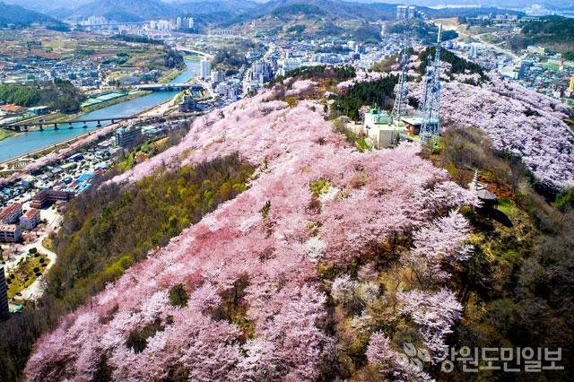 ▲ 삼척 벚꽃명소 봉황산