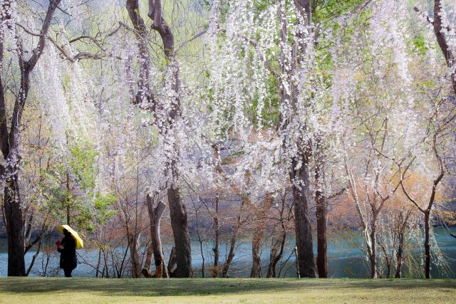 남이섬 수양벚나무 군락지