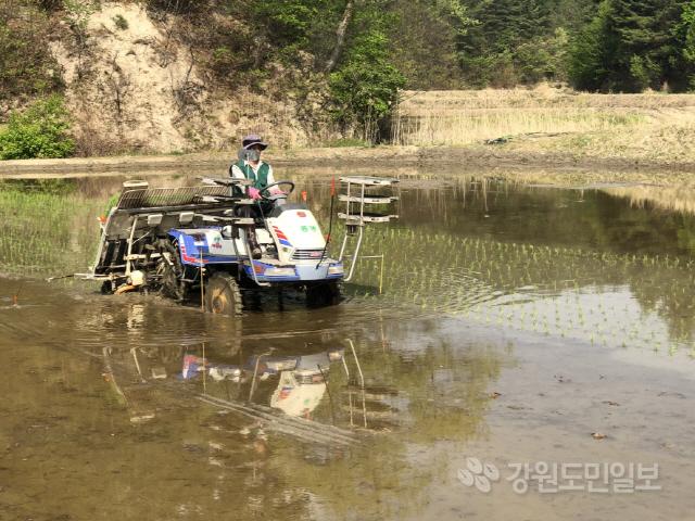 ▲ 고성지역 올해 첫 모내기가 22일 간성읍 해상2리 김화영(63)씨 논에서 실시됐다.이날 모내기를 한 벼는 운광 품종으로,지난해보다 6일 정도 빠르게 진행됐다.