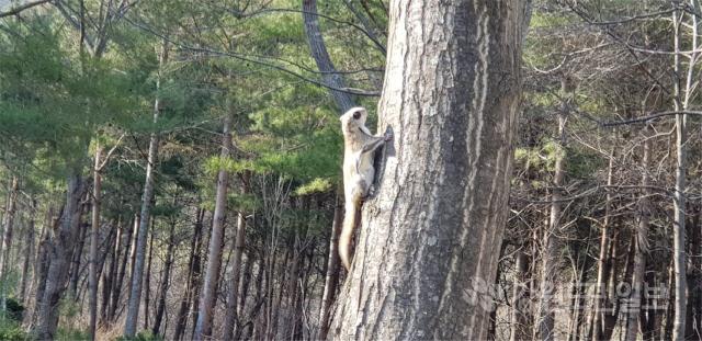 ▲ 백두대간생태수목원은 최근 정선에서 기록상으로만 알려진 천연기념물 제328호인 '하늘다람쥐'의 서식모습을 촬영하는데 성공했다.