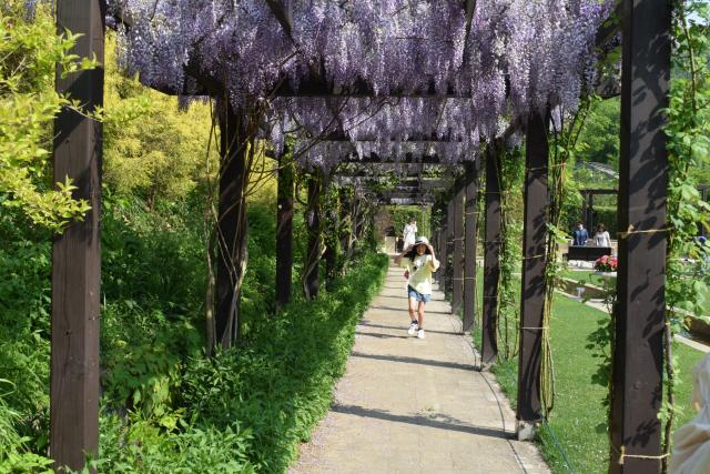 ▲ 보라색 꽃비가 내리는 동나무 터널.