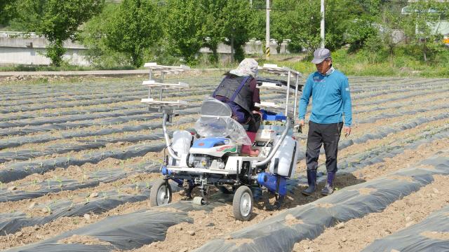 ▲ 15일 화천읍 한 농가에서 참깨모종을 심는 작업이 한창이다.