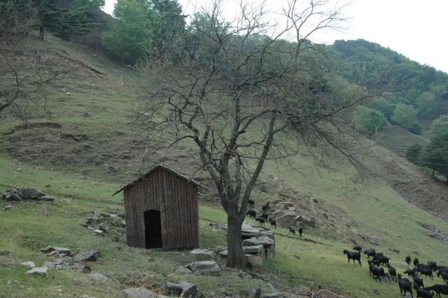▲ 오른쪽 사진은 염소 출산용 움막집과 아름드리 산뽕나무.