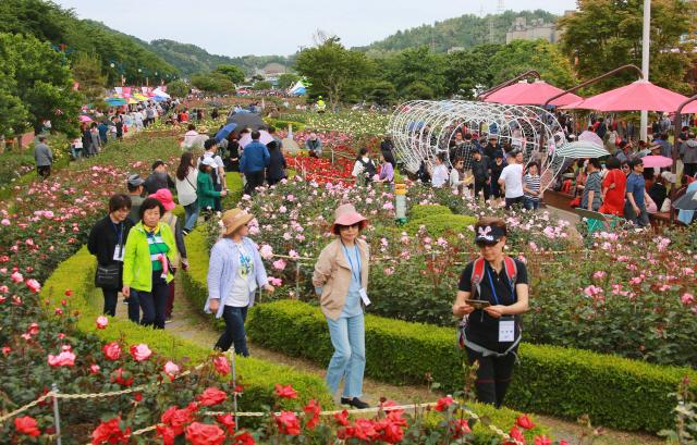 ▲ 지난 18일 삼척 장미축제장에 인파가 몰려 장미꽃이 만개한 장관을 즐겼다.