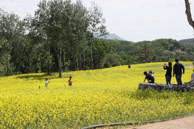 ▲ 철원군 고석정 꽃밭이 지난 18일 개장, 다음달 20일까지 운영된다.
