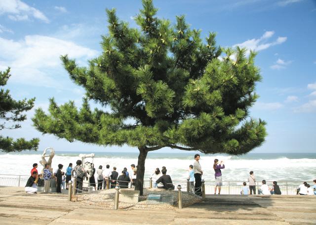 ▲ 정동진역의 '모래시계 소나무'