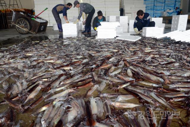 ▲ 연근해 오징어 어획량이 지난해 대비 4배가량 증가한 가운데 9일 동해시 묵호항 수산물위판장에서 오징어를 손질하는 어민들의 손길이 분주하다.  김명준