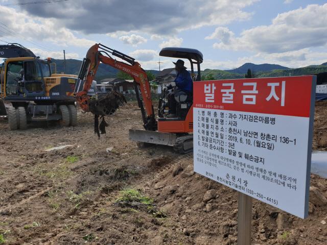 ▲ 11일 춘천 남산면의 한 사과농가가 과수 세균병인 '가지검은마름병' 확진 판정을 받고 폐원조치됐다.