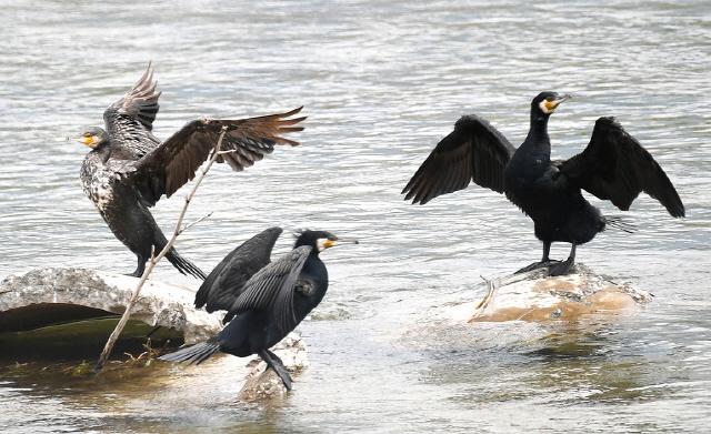 ▲ 평창강 일대에 민물 가마우지가 급증 어족자원 고갈과 생태계 교란이 우려되고 있다.물고기를 사냥하는 평창강 가마우지.