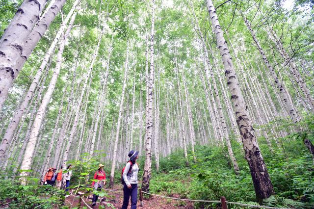 ▲ 도내 미세먼지 농도가 좋음 단계를 보인  20일  인제 용대리 자작나무숲을 찾은 관광객들이 산책을 하고 있다. 방병호