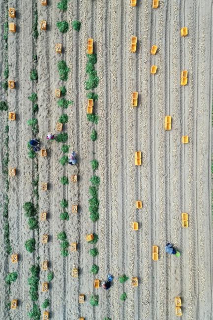 ▲ 27일 춘천시 서면 신매리에서 농민들이 감자를 수확하며 바쁜 일손을 놀리고 있다.   최유진