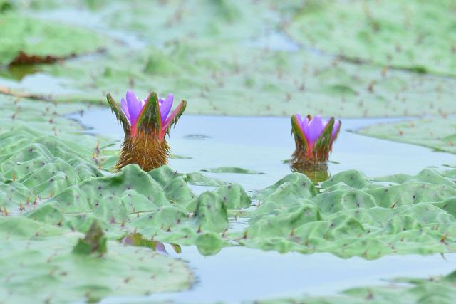 ▲ 강릉 경포 '생태 기적'의 상징인 가시연꽃이 피서철을 앞두고 7월부터 개화를 시작해 탐방객들의 발길이 이어지고 있다.