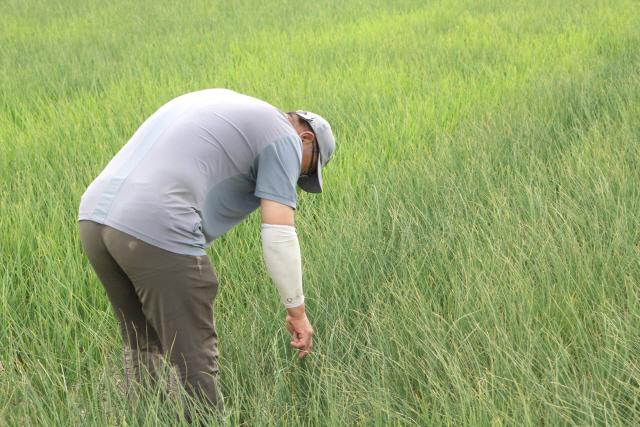 ▲ 철원읍 한 농경지에서 농업인이 말라가는 농작물을 살펴보고 있다.