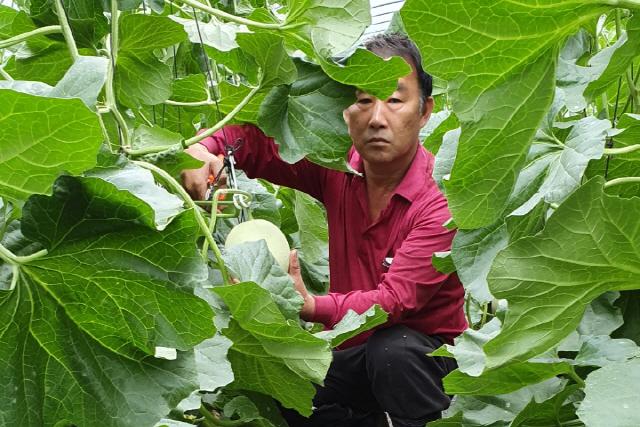 ▲ 인제산 멜론 하니원Ⅱ가 본격 출하돼 마트와 직거래를 통한 판매가 시작됐다.