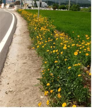 ▲ 철원 근남면 사곡2리 도로변에 금계국 꽃길이 조성돼 눈길을 끌고 있다.
