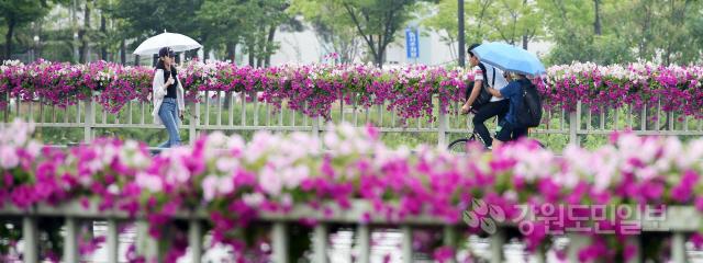 ▲ 태풍 '레끼마(LEKIMA)'의 영향으로 영서지역에 비가 내린 12일 춘천 퇴계동에서 우산을 쓴 시민이 화사한 꽃길을 걷고 있다.   최유진