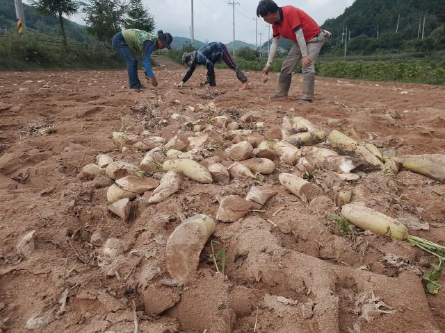 ▲ 국내 대표적 고랭지 채소 재배지 중 한 곳인 평창 봉평면 면온1리의 한 무 밭에서 농민들이 갈아엎은 무 밭을 정리하고 있다.