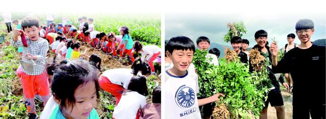 ▲ (사진 왼쪽부터) 원주시 호저면 매호리 매화 팜 스테이 마을에서 유치원생들이 고구마를 캐고 있다. 가을 농작물 수확.단체로 마을을 찾은 고교생들의 땅콩캐기 체험이 한창이다.