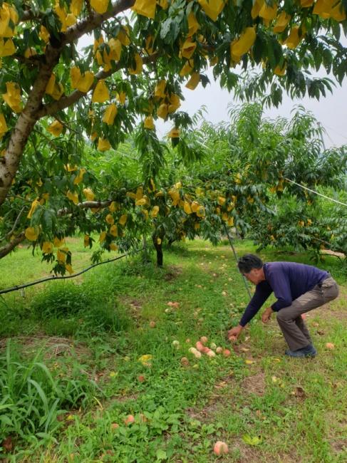 ▲ 춘천에서 30년째 복숭아 과수원을 운영하는 이모(58)씨가 23일 오후 농장 바닥에 떨어진 손상된 복숭아를 정리하고 있다.