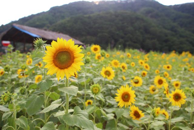 ▲ 인제 해바라기 꽃밭.