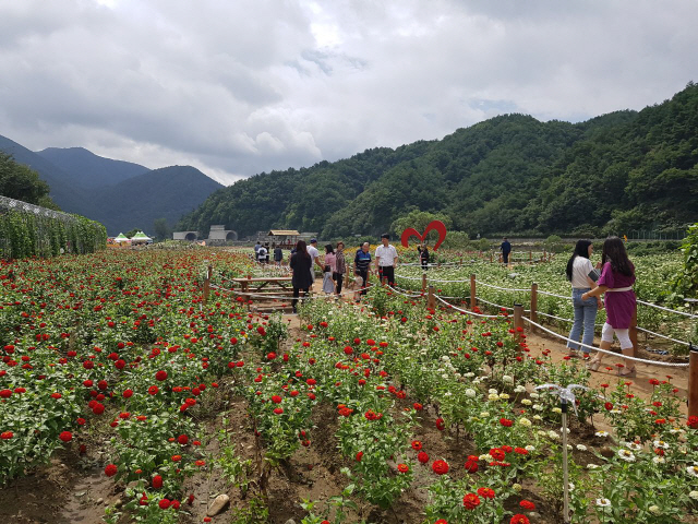 ▲ 8일 평창백일홍축제에 참가한 관광객들이 백일홍 산책길을 걷고 있다.