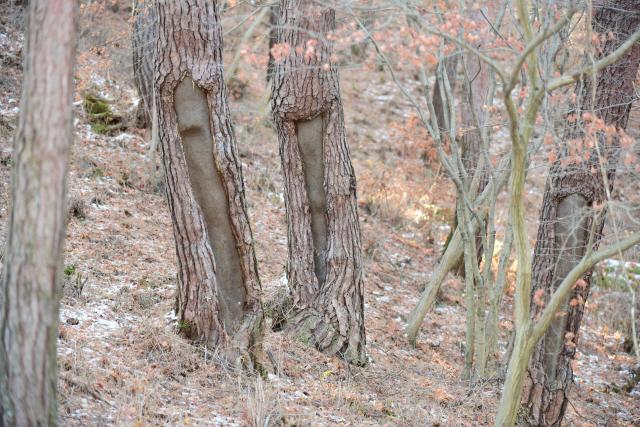 ▲ 일본이 일제강점기 전쟁물자인 송탄유를 조달하기 위해 송진을 채취하면서 생긴 상흔을 간직한 소나무가 도내 10곳에서 발견됐다.사진은 평창지역에서 확인된 피해목. 산림청 국립산림과학원 제공