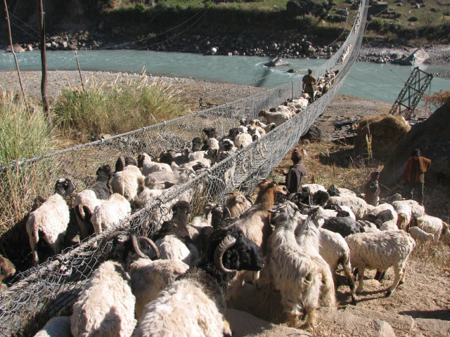 ▲ ① 마나슬루 계곡의 출렁다리를 건너는 가축