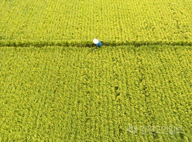 ▲ 추석(秋夕)의 들판은 이미 황금빛이다.11일 춘천 우두동 논에서 한 농부가 수확을 앞둔 벼를 살펴보고 있다.한 여름 뙤약볕도, 거친 태풍도 꿋꿋이 이겨낸 벼는 속을 단단히 채우고 결실의 빛깔을 선사하고 있다. 최유진