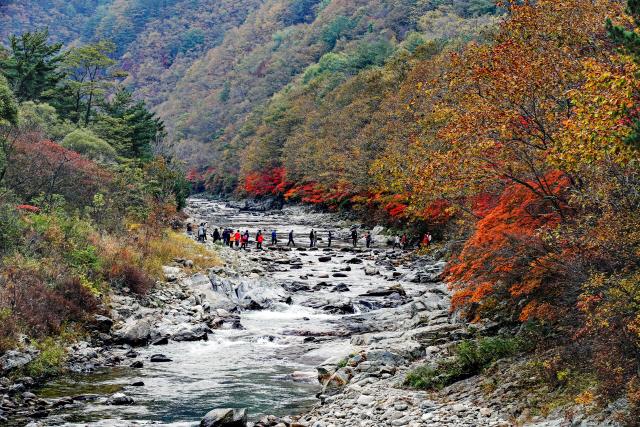 ▲ 양구 두타연을 찾은 관광객들이 징검다리를 건너며 붉게 물든 가을을 만끽하고 있다.