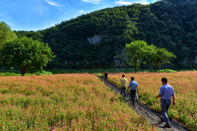 ▲ 영월군이 동강변 군유지에 조성한 붉은 메밀꽃밭이 장관을 이루고 있다.
