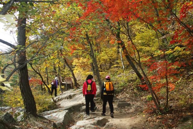 ▲ 대관령 옛길.해마다 가을이면 아흔아홉굽이 고갯길에 단풍 잔치가 요란하다.