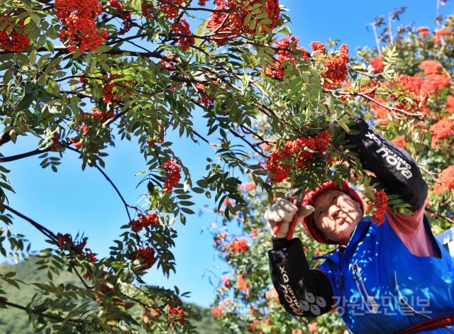 ▲ 백담마가목축제가 5일과 6일 용대관광지 일원에서 열렸다.지역주민이 마가목 열매를 채취하고 있다.