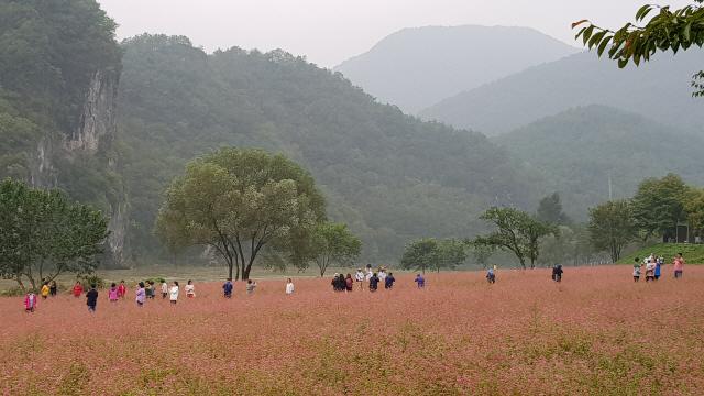 ▲ 최근 영월읍 목골마을 푸른 동강변에 조성된 붉은 메밀꽃밭이 장관을 이루고 있다.