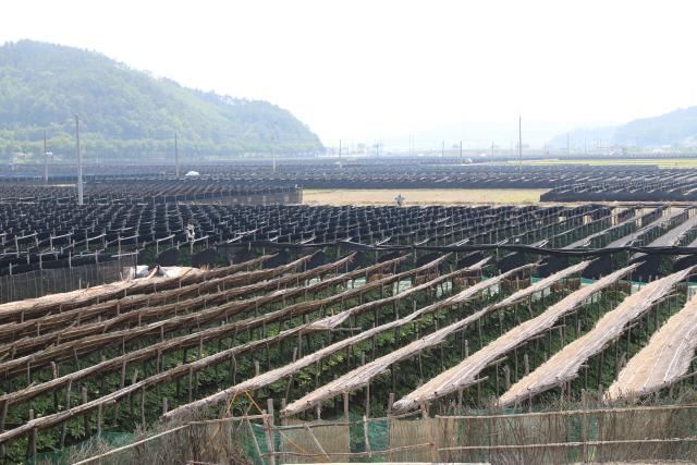 ▲ 2018년 세계중요농업유산으로 등재된 금산 인삼밭