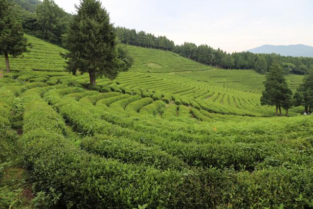 ▲ 국가중요농업유산으로 등재된 전남보성차밭