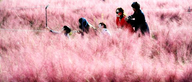 ▲ 18일 춘천의 한 카페 정원을 찾은 시민들이 화사하게 피어난 핑크뮬리 그라스 사이에서 사진을 찍으며 완연한 가을 정취를 만끽하고 있다.  최유진