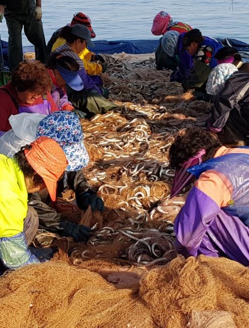 ▲ 동해안 양미리(까나리) 조업이 본격적으로 시작된 가운데 21일속초항에서 어민들이 잡아 온 양미리를 그물에서 분리하는 작업을 하고 있다.  김창삼